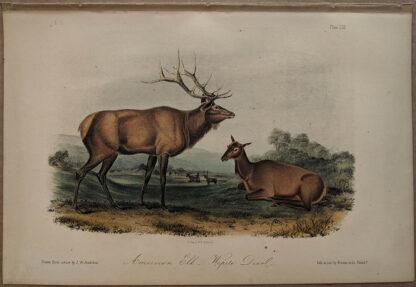 Original American Elk lithograph by John J Audubon