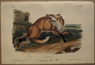 Original American Red Fox lithograph by John J Audubon