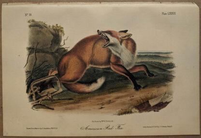 Original American Red Fox lithograph by John J Audubon