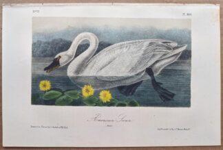 Original American Swan lithograph by John J Audubon