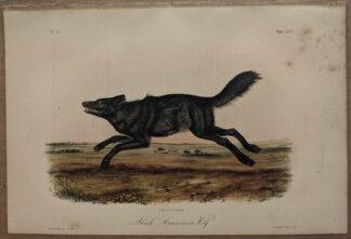 Original Black AMerican Wolf lithograph by John J Audubon