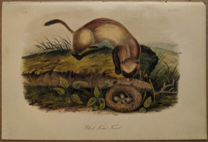 Original Black Footed Ferret lithograph by John J Audubon