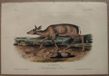 Original Black Tailed Deer lithograph by John J Audubon