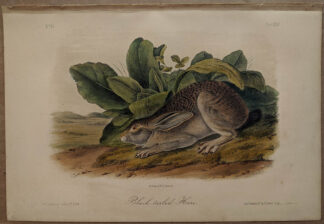 Original Black Tailed Hare lithograph by John J Audubon