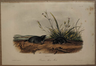 Original Brewers Shrew Mole lithograph by John J Audubon