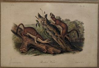 Original Bridled Weasel lithograph by John J Audubon