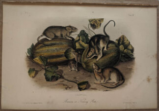 Original Brown Norway Rat lithograph by John J Audubon
