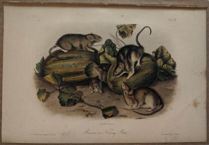 Original Brown Norway Rat lithograph by John J Audubon