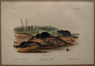 Original Carolina Shrew lithograph by John J Audubon