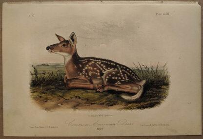 Original Common American Deer lithograph by John J Audubon