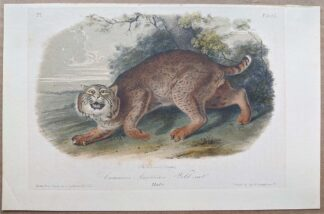 Original Common American Wild-cat lithograph by John J Audubon