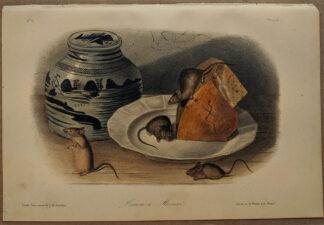 Original Common Mouse lithograph by John J Audubon