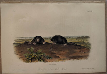 Original Common Star Nose Mole lithograph by John J Audubon