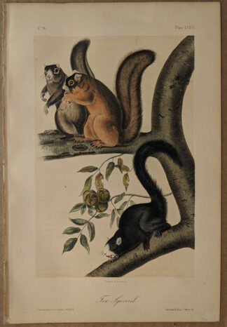 Original Fox Squirrel lithograph by John J Audubon