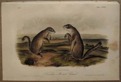 Original Franklin's Marmot Squirrel lithograph by John J Audubon