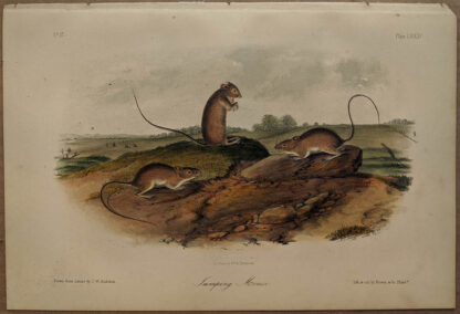 Original Jumping Mouse lithograph by John J Audubon