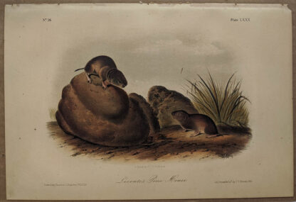 Original LeConte's Pine Mouse lithograph by John J Audubon