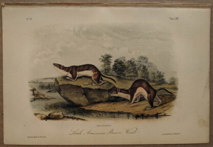 Original Little American Brown Weasel Mouse lithograph by John J Audubon