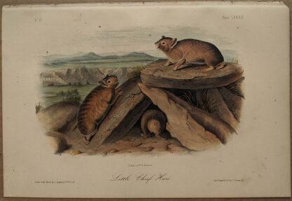 Original Little Chief Hare lithograph by John J Audubon