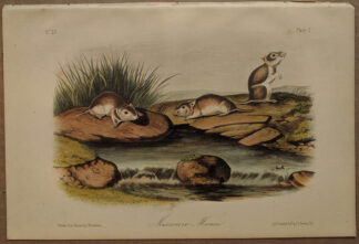 Original Missouri Mouse lithograph by John J Audubon
