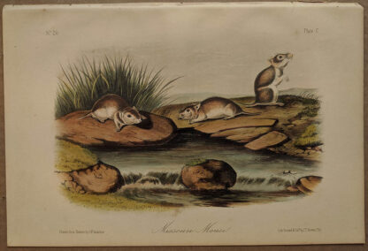 Original Missouri Mouse lithograph by John J Audubon