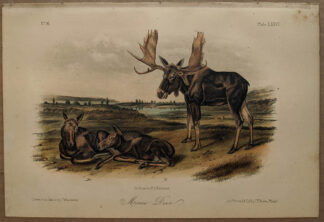 Original Moose Deer lithograph by John J Audubon