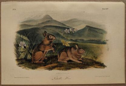 Original Nuttall's Hare lithograph by John J Audubon