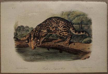 Original Ocelot Leopard Cat lithograph by John J Audubon
