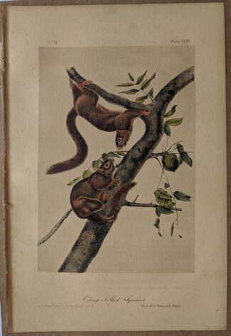 Original Orange Bellied Squirrel lithograph by John J Audubon