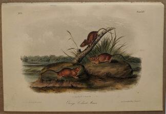 Original Orange Colored Mouse lithograph by John J Audubon