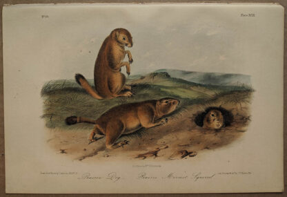 Original Prairie Dog Marmot Squirrel lithograph by John J Audubon