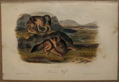 Original Prairie Wolf lithograph by John J Audubon
