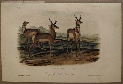 Original Prong Horned Antelope lithograph by John J Audubon