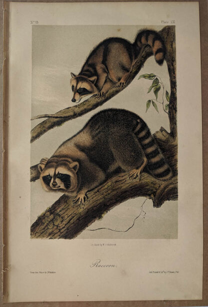 Original Raccoon lithograph by John J Audubon