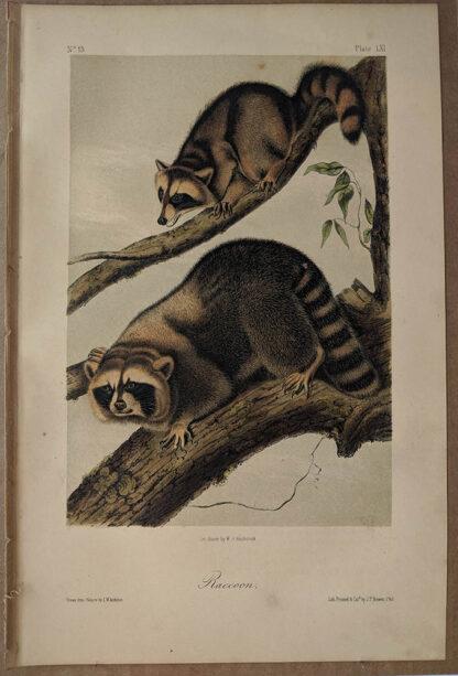 Original Raccoon lithograph by John J Audubon