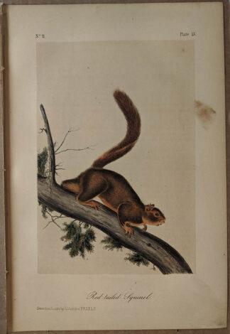 Original Red Tailed Squirrel lithograph by John J Audubon