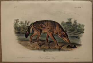 Original Red Texan Wolf lithograph by John J Audubon