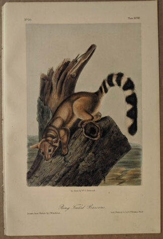Original Ring Tailed Bassaris lithograph by John J Audubon