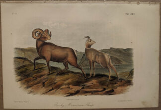 Original Rocky Mountain Sheep lithograph by John J Audubon
