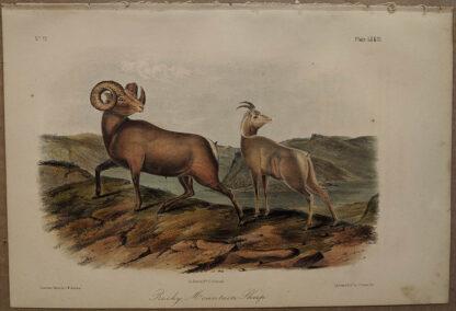 Original Rocky Mountain Sheep lithograph by John J Audubon