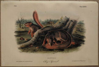 Original Say's Squirrel lithograph by John J Audubon