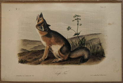Original Swift Fox lithograph by John J Audubon