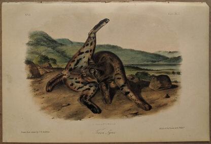 Original Texan Lynx lithograph by John J Audubon