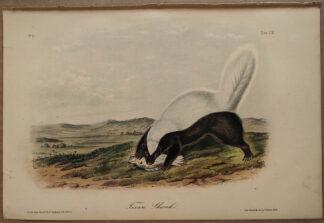 Original Texan Skunk lithograph by John J Audubon