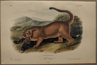 Original Male Cougar lithograph by John J Audubon
