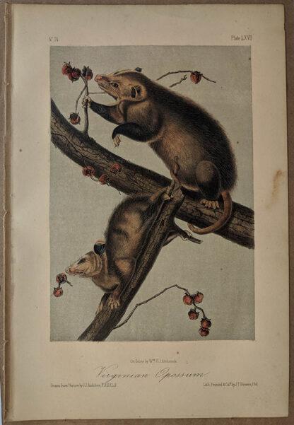 Original Virginian Opossum lithograph by John J Audubon