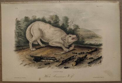 Original White American Wolf lithograph by John J Audubon