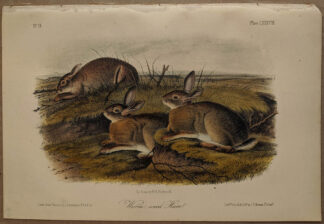 Original Worm Wood Hare lithograph by John J Audubon