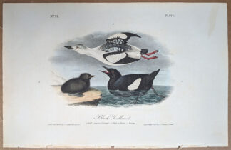 Original print of the Black Guillemot, by John J Audubon, Birds of America art