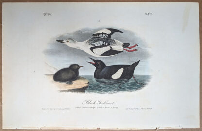 Original print of the Black Guillemot, by John J Audubon, Birds of America art